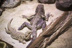 边饰蜥蜴(Chlamydosaurus kingii)和中央有胡子的龙(Pogona vitticeps) 免版税库存照片