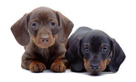 达克斯猎犬两只小狗画象  图库摄影