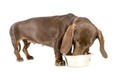 达克斯猎犬吃 库存照片