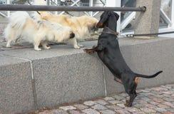 达克斯猎犬和两Shih慈济 库存图片
