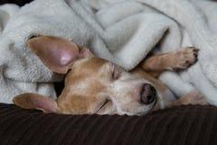 达克斯猎犬和奇瓦瓦狗混合 图库摄影