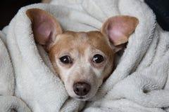 达克斯猎犬和奇瓦瓦狗混合 免版税库存照片