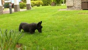 达克斯猎犬和苏格兰狗戏剧在草,两条狗在绿色草坪使用 股票视频