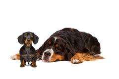 达克斯猎犬和Bernese狗 图库摄影