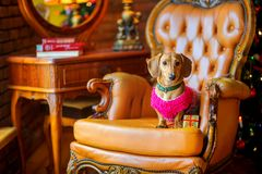 达克斯猎犬品种的美丽的小犬座在一件温暖的夹克穿戴了 图库摄影