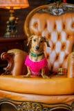 达克斯猎犬品种的美丽的小犬座在一件温暖的夹克穿戴了 库存图片