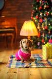 达克斯猎犬品种的美丽的小犬座在一件温暖的夹克穿戴了 免版税库存图片