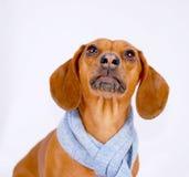 达克斯猎犬围巾佩带 免版税图库摄影