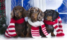 达克斯猎犬圣诞节狗 免版税库存图片