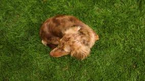 达克斯猎犬坐草坪并且看,红色达克斯猎犬坐绿色草坪 股票视频