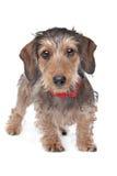 达克斯猎犬头发的电汇 库存图片