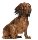 达克斯猎犬头发风 免版税库存照片