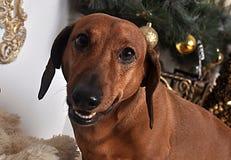 达克斯猎犬宠物微笑 库存照片