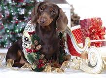 达克斯猎犬小狗圣诞节 库存照片