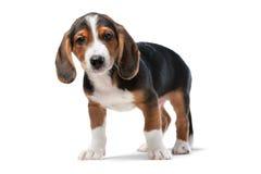 达克斯猎犬小狗,威斯特伐利亚的Dachsbracke 免版税库存照片
