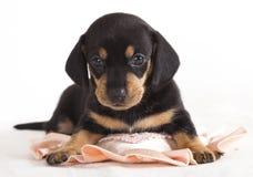 达克斯猎犬小狗 库存图片