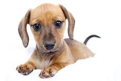 达克斯猎犬小狗 库存照片