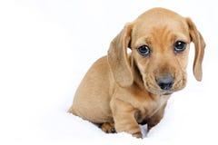 达克斯猎犬小狗 免版税库存图片