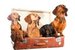 达克斯猎犬尾随五个手提箱白色 免版税图库摄影