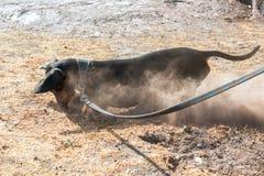 达克斯猎犬开掘的孔在夏天 库存照片