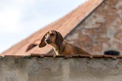 达克斯猎犬当在屋顶上面的护卫犬 免版税库存照片
