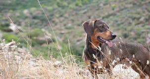 达克斯猎犬接近在山顶部 免版税图库摄影