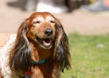 达克斯猎犬是猎犬 库存图片