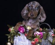 达克斯猎犬棕色和大理石狗画象和玫瑰,花 免版税库存图片