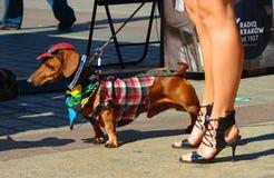 达克斯猎犬游行在克拉科夫 免版税库存图片