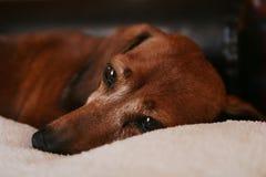 达克斯猎犬狗 免版税库存照片