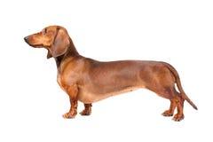 达克斯猎犬狗 免版税库存图片