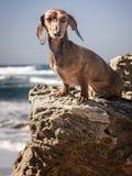 达克斯猎犬狗 图库摄影