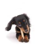 达克斯猎犬的小狗 库存照片