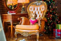 达克斯猎犬的美丽的小犬座 免版税库存照片