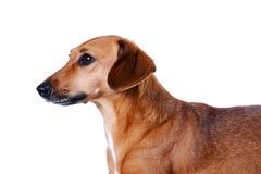 达克斯猎犬纵向红色 免版税库存图片