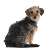 达克斯猎犬纵向 免版税库存照片