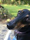 达克斯猎犬美丽的眼睛 免版税库存图片