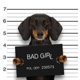 达克斯猎犬警察面部照片 免版税图库摄影
