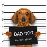 达克斯猎犬警察面部照片 库存照片