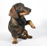 达克斯猎犬请求 免版税库存图片