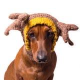 达克斯猎犬鹿 库存图片