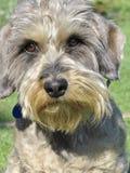 达克斯猎犬头发的电汇 免版税库存照片