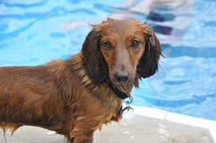 达克斯猎犬头发长红色弄湿了 免版税库存图片