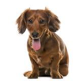 达克斯猎犬(2岁)在白色背景前面 库存照片