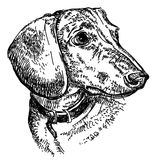 达克斯猎犬画象传染媒介手图画例证 向量例证