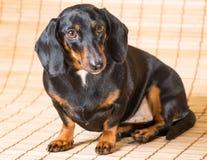达克斯猎犬画象  免版税库存图片