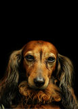 达克斯猎犬 免版税库存照片