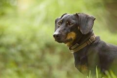 达克斯猎犬 图库摄影