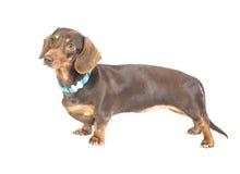 达克斯猎犬 免版税图库摄影