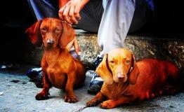 达克斯猎犬 免版税库存图片